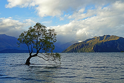 A willow in the lake Wanaka - p162m1573904 by Beate Bussenius