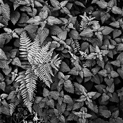 Fern and nettles in Ashdown forest - p3314062 by Trevor Smeaton