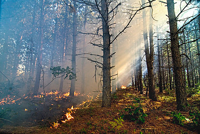 Controlled- Burn Forest Fire In The Pine Barrens, Ossipee, New Hampshire - p343m1416118 by Joe Klementovich