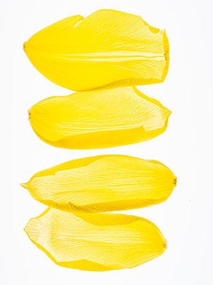 Yellow tulip petals - p401m2192536 by Frank Baquet