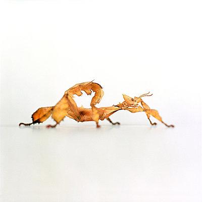 Gespenstschrecke - p6060150 von Iris Friedrich
