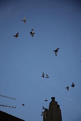 taubenschwarm am himmel - p6270565 von bobsairport