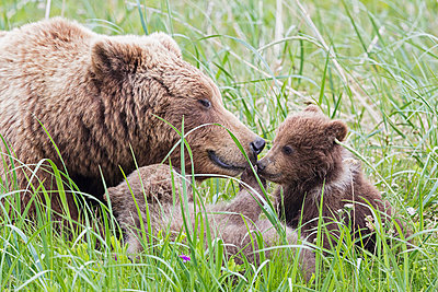 USA, Alaska, Lake Clark National Park and Preserve, Brown bear with cubs - p300m911249f by Fotofeeling