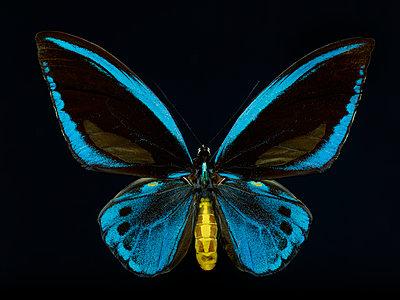 Schmetterling vor schwarzem Hintergrund - p587m1575073 von Spitta + Hellwig