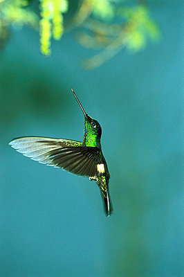 Buff-winged Starfrontlet hummingbird flying in cloud forest - p8841560 by Tui De Roy