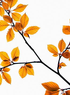 Leaves on a tree - p597m2026154 by Tim Robinson