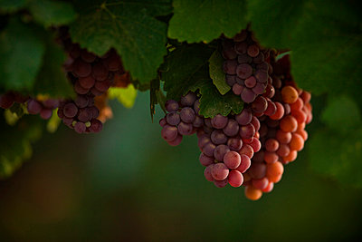 Wine Grapes - p1026m874776f by Romulic-Stojcic