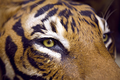 Tiger - p1150m939344 by Elise Ortiou Campion