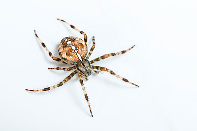 Cross spider, Araneus diadematus - p1437m2057058 by Achim Bunz
