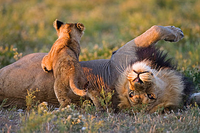 Africa, Botswana, Adult male lion (Panthera leo) and cub - p3004661f by Fotofeeling