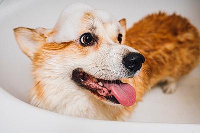 Portrait of Corgi dog standing in bathtub - p300m2276769 by Vasily Pindyurin