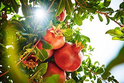 Pomegranate - p851m2110837 by Lohfink