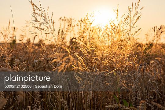 Wheat field in the evening - p300m2132506 by Sebastian Dorn