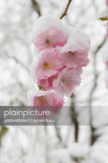 Snow covered cherry blossom - p300m659941f by Achim Sass