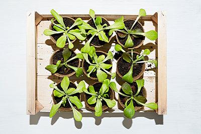 Planting salad - p1149m1132479 by Yvonne Röder