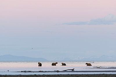 Brown Bears On Beach In Hallo Bay, Katmai National Park, Alaska Peninsula, Southwest Alaska, Summer. - p442m861308 by Scott Dickerson