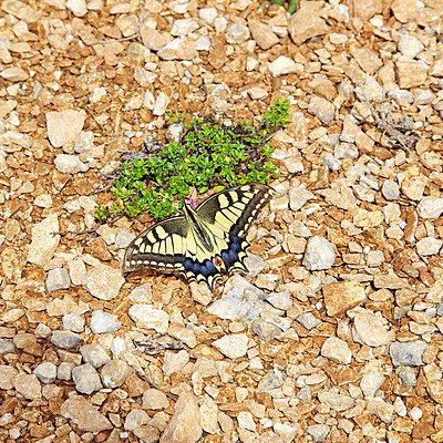 Schwalbenschwanz - p606m794171 von Iris Friedrich