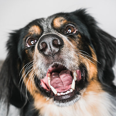 Close-up of Australian Shepherd with mouth open looking away against white background - p1166m2024700 by Cavan Images