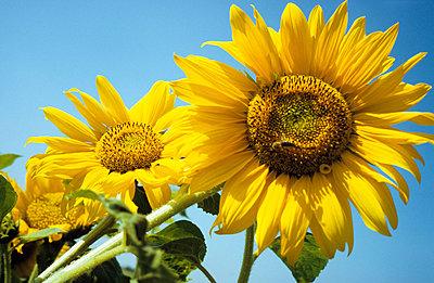 Sonnenblumen mit Himmel - p2370109 von Thordis Rüggeberg