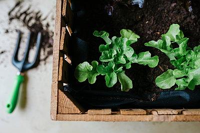 Planting lettuce in a wooden box - p300m1417132 by Gemma Ferrando