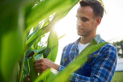 Farmer at cornfield examining maize plants - p300m2028653 by gpointstudio