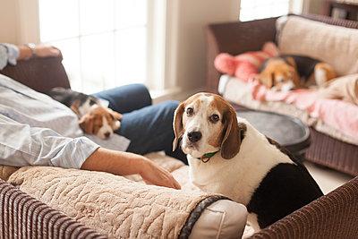 Beagle puppy - p343m1184577 by Lucie Wicker