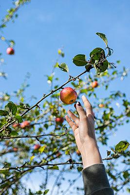 Äpfel pflücken - p427m2026137 von Ralf Mohr