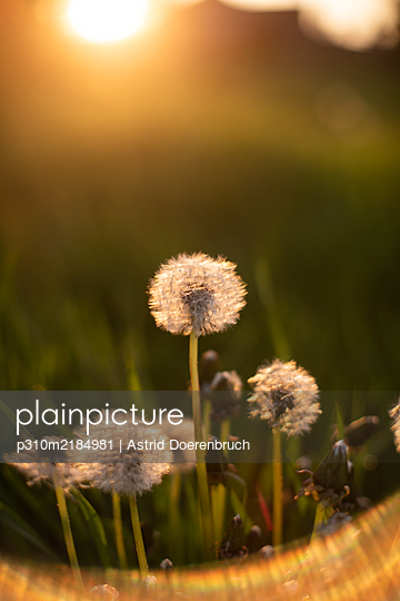 Blowballs - p310m2184981 by Astrid Doerenbruch
