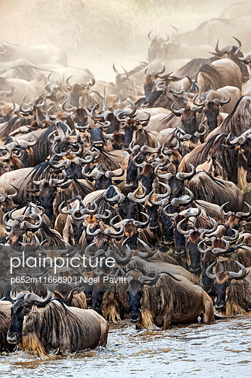 Kenya, Masai Mara, Narok County. White-bearded Gnus, or wildebeest, mass on the banks of the Mara River in readiness to cross during their annual migration. - p652m1166890 by Nigel Pavitt