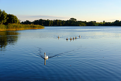 Germany, Usedom, Bansin, mute swans on Schloonsee - p300m1204638 by Martin Siepmann