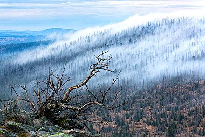 Germany, Bavaria, Lusen, Bavarian Forest National Park, Forest dieback and fog - p300m978670f by Stefan Schurr