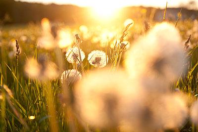 Löwenzahnblüten im Sonnenuntergang - p533m1496810 von Böhm Monika