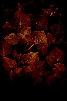 Ivy (Hedera helix) - p1028m2216432 by Jean Marmeisse