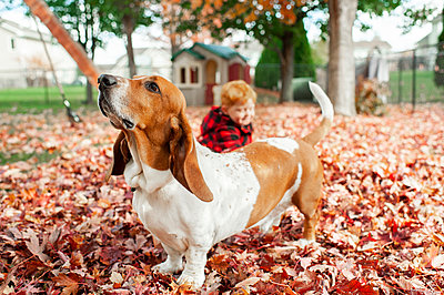 Hound dog stands in leaf pile and sniffs air while boy sits behind him - p1166m2237061 by Cavan Images
