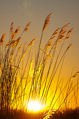 Grass in the sunset - p4880424 by Bias