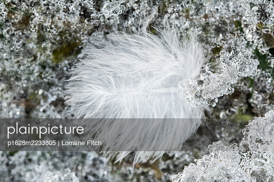 Feather laying in the snow - p1628m2233805 by Lorraine Fitch