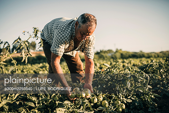 Male farm worker harvesting tomatoes at farm on sunny day - p300m2293540 by LUPE RODRIGUEZ