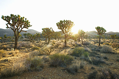 Joshua Trees in the Sun - p1106m1592099 by Angela DeCenzo