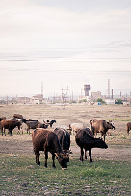 Freilaufende Rinder in Georgien - p795m1592081 von Janklein
