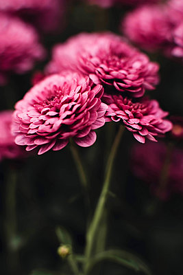 Closeup on pink chrysanthemum flowers - p1166m2095212 by Cavan Images