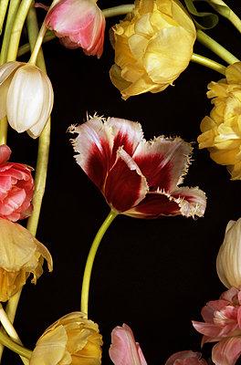 Tulpen - p1210m1561989 von Ono Ludwig