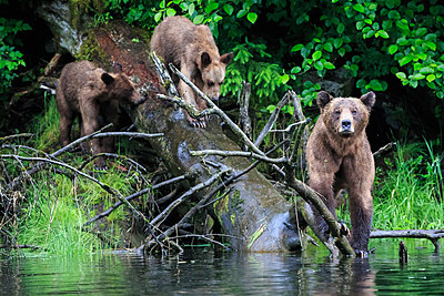 Female grizzly bear with offspring - p300m884998f by Fotofeeling