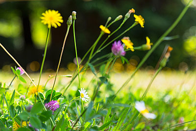 Surface level close up of clover and daisies in meadow - p429m1155926 by Henglein and Steets
