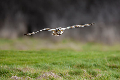 Short-eared owl  flying low over rough grass hunting for prey, Cheshire, England, United Kingdom, Europe - p871m1181362 by Garry Ridsdale
