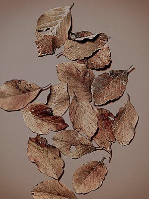 Herbstblätter von einer Buche, Herbst, Blätter, Natur - p1316m1161133 von Robert Striegl