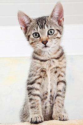 Domestic cat, kitten, portrait - p3008605f by Dieter Heinemann