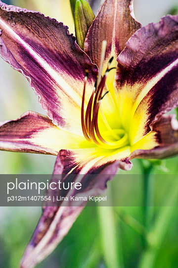 Purple and yellow lily