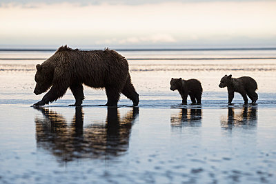 USA, Alaska, Lake Clark National Park and Preserve, Brown bear with cubs searching for mussels in lake - p300m911253f by Fotofeeling