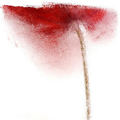 Tulip under water - p8130062 by B.Jaubert