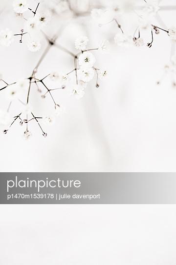 Close up of Gypsophila - p1470m1539178 by julie davenport